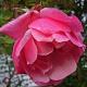 Rote Rose als Remininszenz