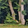 Greenpeace sucht Paten für deutsche Baumriesen – Aktion zum Schutz alter Buchenwälder