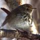 Singen wie die Drossel – Im Vogelgesang sind musikalische Prinzipien nachweisbar