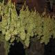 Die rechtliche Situation von Cannabis in Deutschland und Österreich