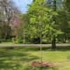 Acht Bäume im Vitos-Park Marburg gepflanzt