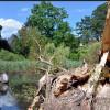 Umgestürzte Silberweide als neues Wahrzeichen im Alten Botanischen Garten Marburg?