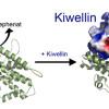 Protein kämpft gegen Pilze – Marburger Mikrobiologen finden Abwehrmolekül Kiwellin in Maispflanzen