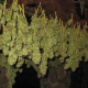 Cannabis ab März 2017 auf Rezept in der Apotheke erhältlich