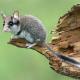 Spurensuche Gartenschläfer – Forschung zum Verschwinden der Schlafmaus in Deutschland