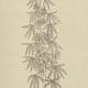 Verbotene Kräuter? Die Wirkung von Cannabis war schon vor 250 Jahren Streitthema