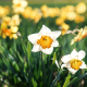 60.000 Pflanzzwiebeln für Mitmachaktion Stadtjubiläum: Marburg zum Blühen bringen