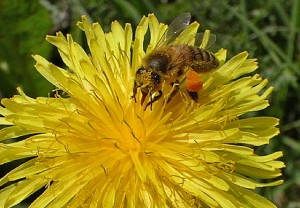 Honigbiene auf einer Löwenzahnblüte. (Foto Steffen Banhardt cc)