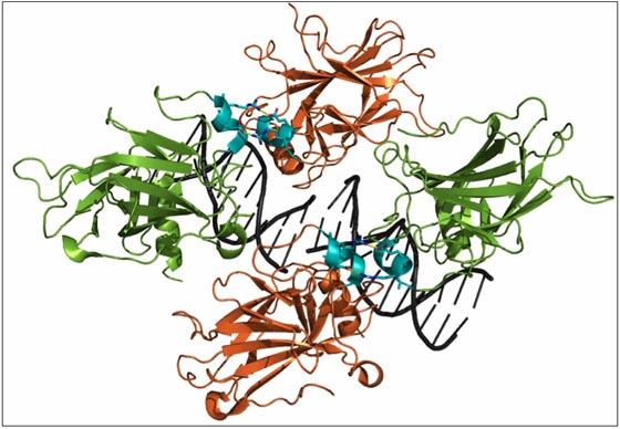 Vier p53-Moleküle (in orange und grün) treten miteinander in Wechselwirkung; die Kontaktstellen sind türkis hervorgehoben. Vier p53-Moleküle (in orange und grün) treten miteinander in Wechselwirkung; die Kontaktstellen sind türkis hervorgehoben. Vier p53-Moleküle (in orange und grün) treten miteinander in Wechselwirkung; die Kontaktstellen sind türkis hervorgehoben. Quelle: RCSB Protein Data Bank.