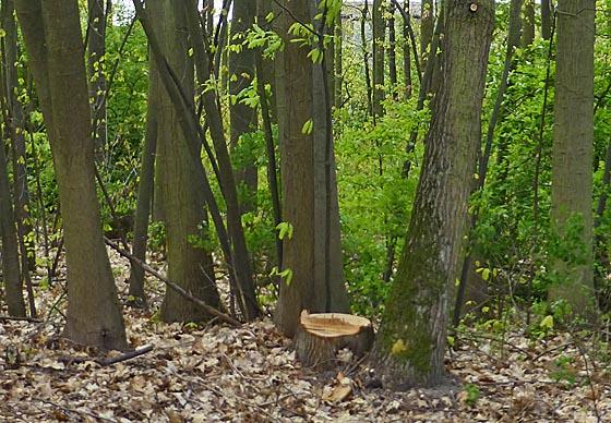Baumbestand in dem zur Wohnbebauung vorgesehenen Teil des Vitos-Geländes. Foto Hartwig Bambey