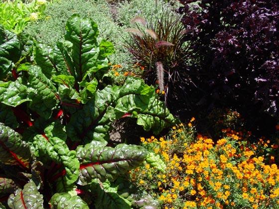 Urban Gardinen in Marburg: Auf dem Friedrichsplatz wachsen Gemüse und Kräuter zwischen den Blumen. Foto Silvia Vignoli